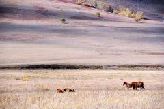 Cavalos que comem a grama na pradaria do outono Imagem de Stock