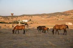 Cavalos que comem no prado Fotos de Stock Royalty Free