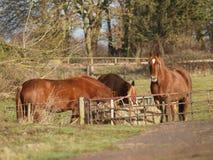 Cavalos que comem o feno Imagem de Stock