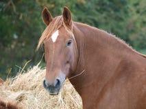 Cavalos que comem o feno Imagens de Stock Royalty Free
