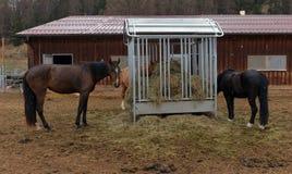 Cavalos que comem o feno Fotografia de Stock