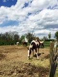 Cavalos que comem o feno imagens de stock