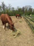 Cavalos que comem o feno fotografia de stock royalty free