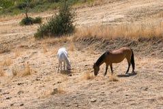 Cavalos que comem o feno em um campo em Sicília Foto de Stock Royalty Free
