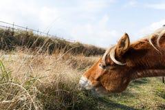 Cavalos que comem o feno fresco Foto de Stock