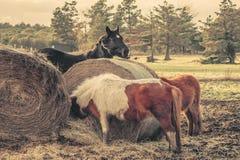 Cavalos que comem um pacote da palha Imagem de Stock Royalty Free