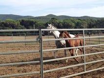 Cavalos que correm em torno de um prado Fotografia de Stock