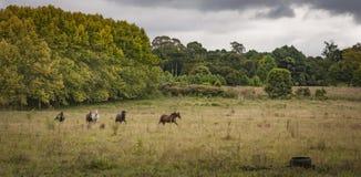 Cavalos que correm em um campo de grama aberto Imagem de Stock