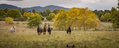 Cavalos que correm em um campo de grama aberto Fotografia de Stock Royalty Free