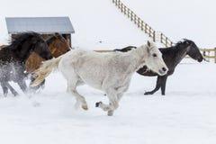 Cavalos que correm na neve Imagem de Stock
