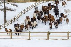 Cavalos que correm na neve Fotografia de Stock