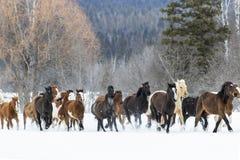 Cavalos que correm na neve Imagem de Stock Royalty Free