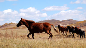 Cavalos que correm na pradaria Imagem de Stock