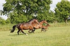 Cavalos que correm no pasto Fotos de Stock