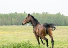 Cavalos que correm no prado Fotografia de Stock
