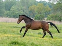 Cavalos que correm para encerrar Fotografia de Stock Royalty Free