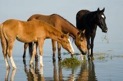 Cavalos que estão no lago Fotografia de Stock