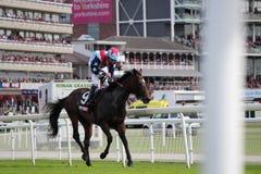Cavalos que galopam em raças de York, Inglaterra, em agosto de 2015 Imagem de Stock Royalty Free