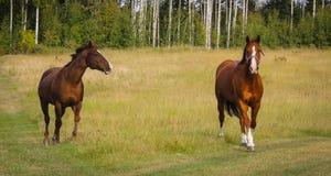 Cavalos que jogam em um campo Fotos de Stock