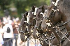 Cavalos que mudam o protetor Fotografia de Stock Royalty Free