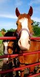 Cavalos que olham através da porta Imagens de Stock