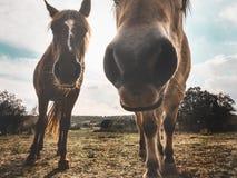Cavalos que olham curiosos na câmera que os fotografa Foto de Stock Royalty Free