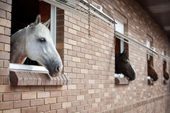 Cavalos que olham das janelas de um estábulo imagem de stock royalty free