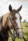 Cavalos que olham na câmera foto de stock