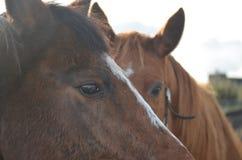 Cavalos que olham na câmera foto de stock royalty free