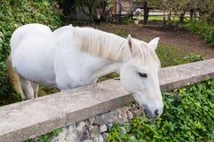 Cavalos que olham na câmera Fotografia de Stock Royalty Free