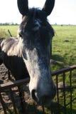 Cavalos que olham na câmera Fotos de Stock