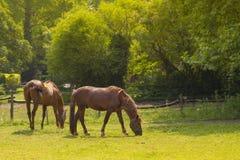 Cavalos que olham na câmera Imagem de Stock