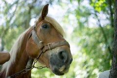 Cavalos que olham no foco Imagens de Stock Royalty Free