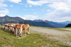 Cavalos que pastam Imagens de Stock