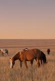 Cavalos que pastam Fotografia de Stock Royalty Free