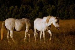 Cavalos que pastam   Fotografia de Stock