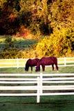 Cavalos que pastam imagens de stock royalty free