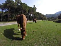 Cavalos que pastam Fotos de Stock Royalty Free
