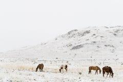 Cavalos que pastam em montanhas rochosas de Colorado da neve do inverno Fotos de Stock Royalty Free