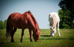 Cavalos que pastam em um campo Fotos de Stock Royalty Free