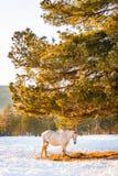 Cavalos que pastam em um campo Imagens de Stock