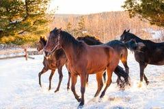 Cavalos que pastam em um campo Imagem de Stock Royalty Free