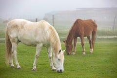 Cavalos que pastam em um dia nevoento fotografia de stock royalty free