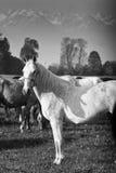 Cavalo branco que está ainda imagem de stock