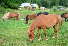 Cavalos que pastam, foco seletivo do potro de Falabella mini, na parte traseira Foto de Stock Royalty Free