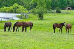 Cavalos que pastam no campo Fotos de Stock Royalty Free