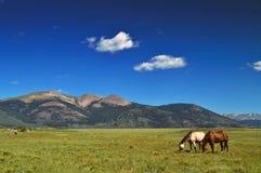 Cavalos que pastam no campo com as montanhas em Colorado Fotografia de Stock
