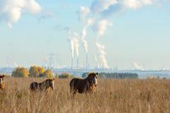 cavalos que pastam no campo do outono Foto de Stock