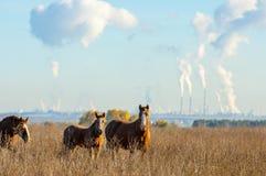cavalos que pastam no campo do outono Foto de Stock Royalty Free