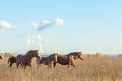 cavalos que pastam no campo do outono Fotos de Stock Royalty Free